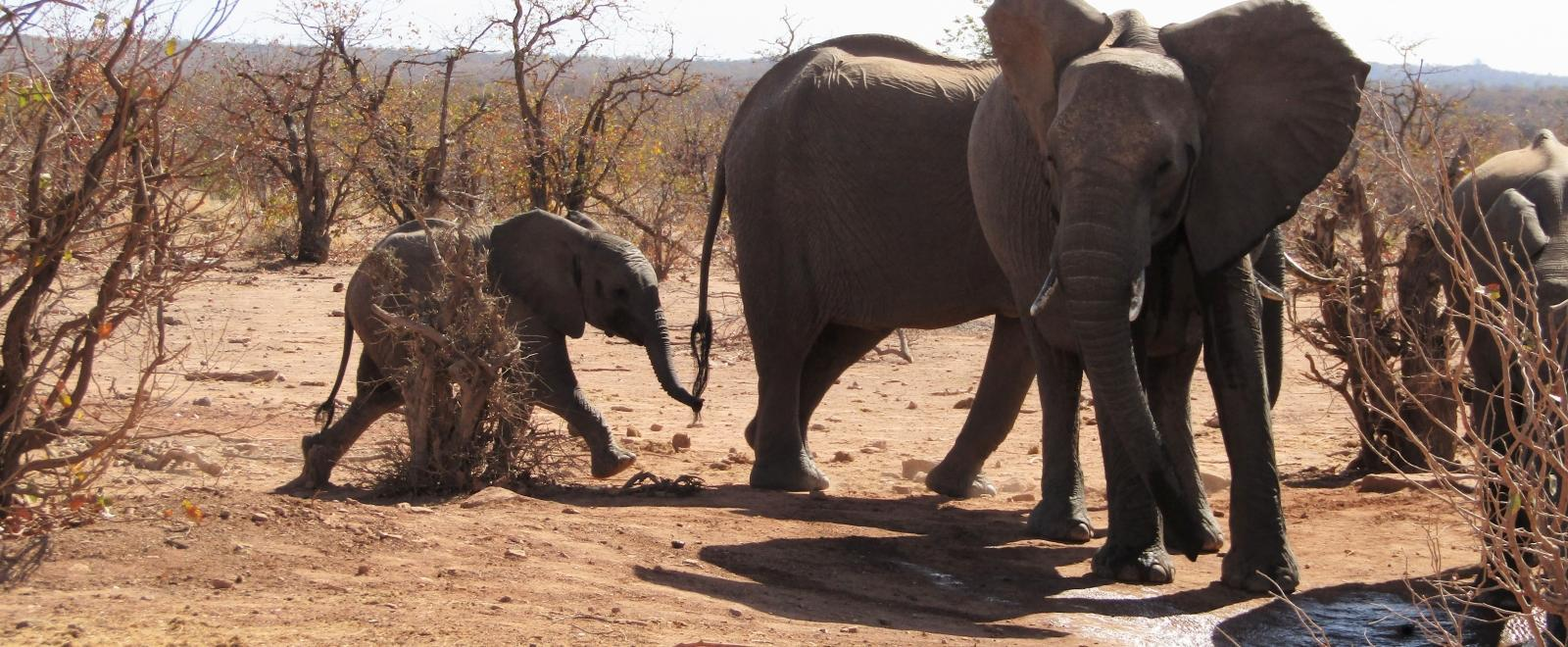 Projects Abroad volunteers observe wild elephants at a watering hole in Botswana during their ecotourism holiday.